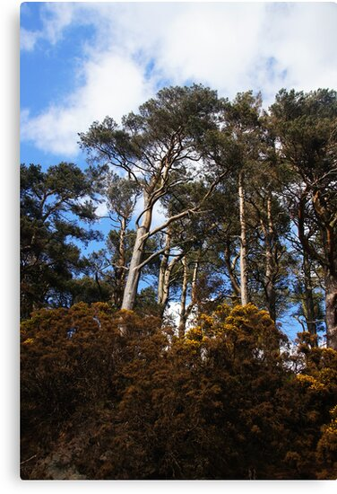Pentland Trees by Nik Watt