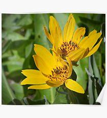 Balsomroot Flower Poster