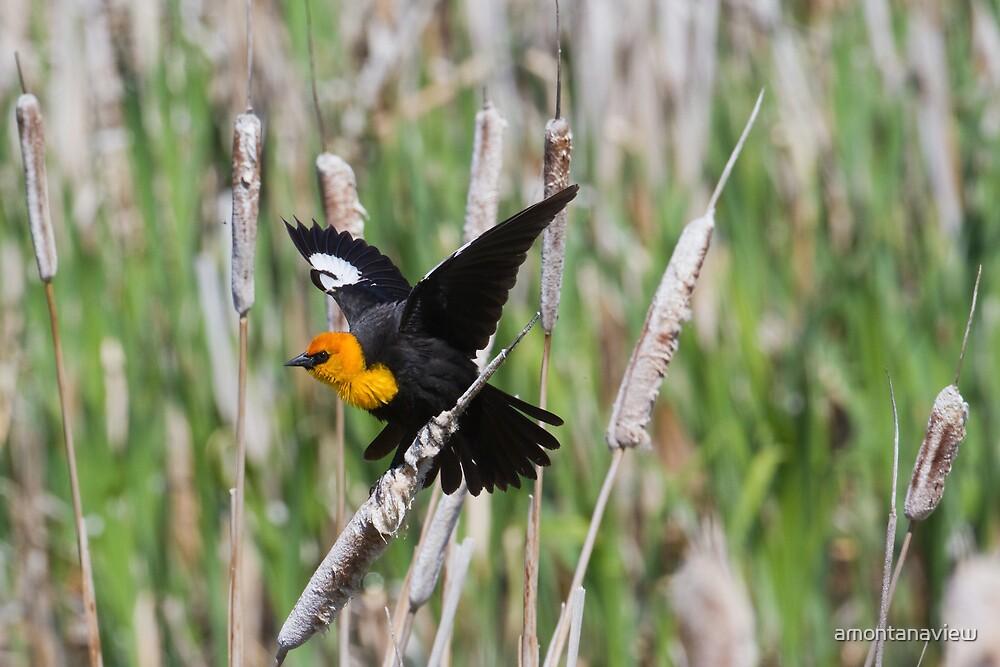 Yellow-headed Blackbird by amontanaview