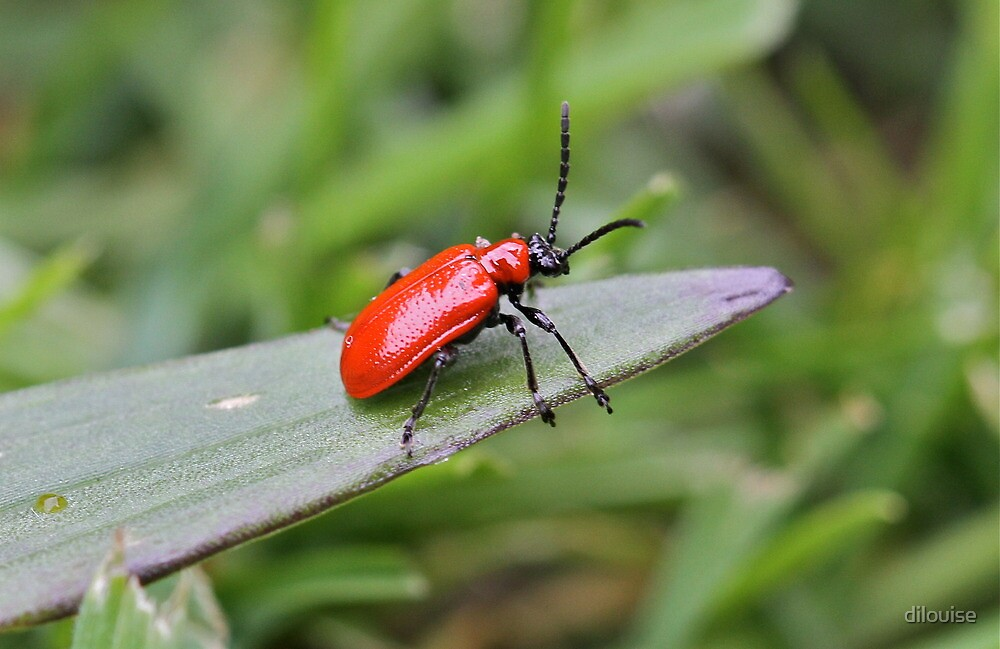 Lily Beetle  by dilouise