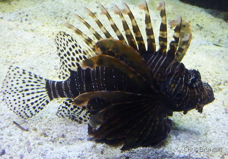 Black lionfish