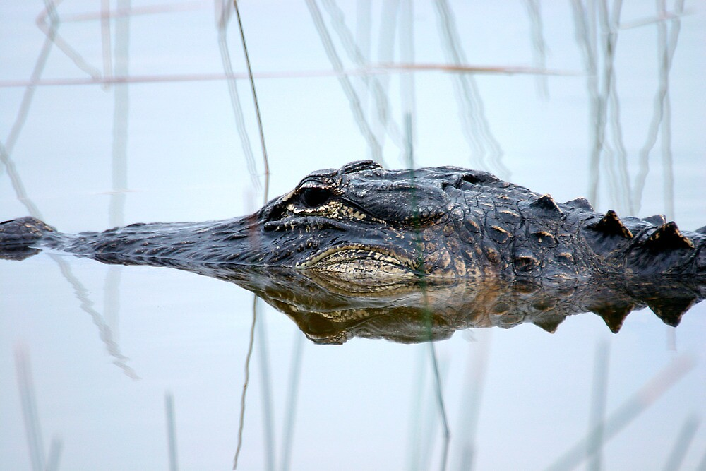 Alligator in the Everglades by Randall Nyhof