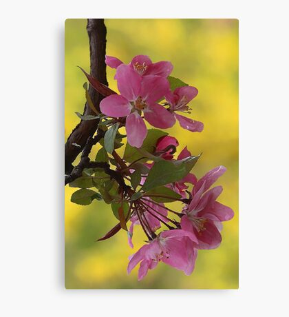-Apple Blossoms (Forsythia Background) Canvas Print