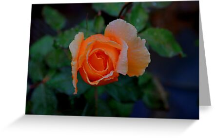 Trina's Rose by SRLongstroth