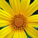 Wild, Yellow Daisy by Angela Gannicott