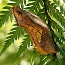 Cairns birdwing Pupa by robmac