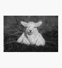 Cheeky Little Lamb Photographic Print
