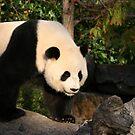 Panda by Michael Walker