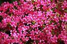 Pink Azalia by John Dalkin