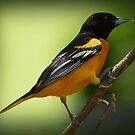 Baltimore Oriole by Anthony Roma