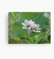 Siberian Quill Lilly  Canvas Print