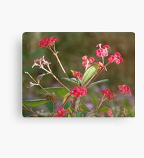 Crown of Thorns, in Bloom Canvas Print