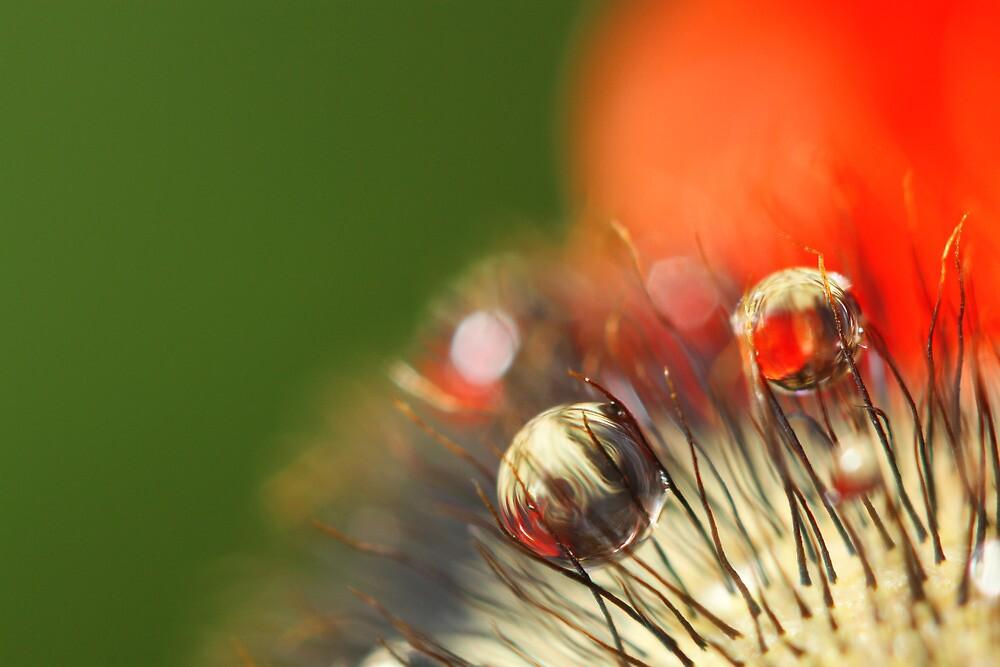 Poppy Drop Abstract by Sharon Johnstone