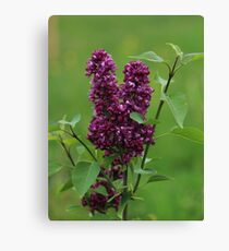 Blooming Lilac Twiglet Canvas Print