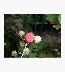 Rasberry in our garden Photographic Print