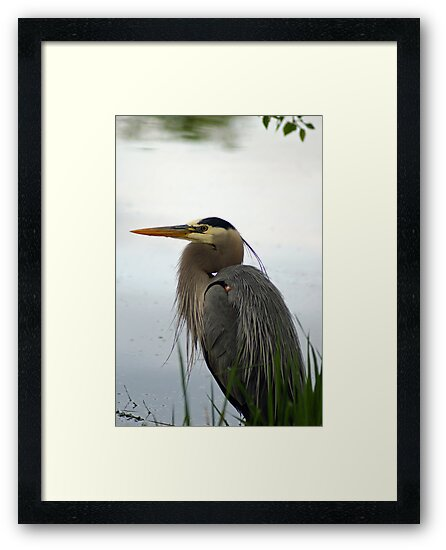 Great Blue by Robin Clifton