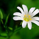 daisy  by Kyoko Beaumont