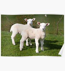 Spring lambs Poster