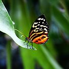 tiger longwing by agawasa