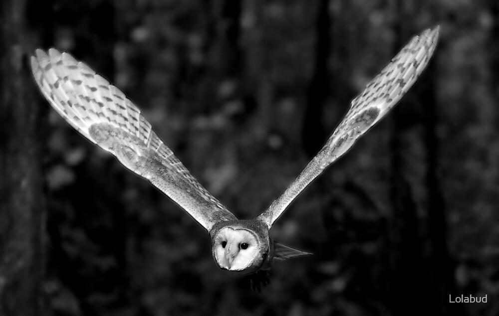Barn Owl in Flight by Lolabud
