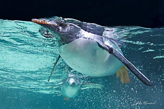 Penguin, Melbourne Auquarium by JuliaKHarwood