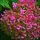 Amethyst Hydrangea Macrophylla by Debra Fedchin