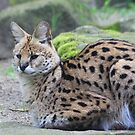 Serval by DutchLumix