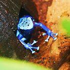 Blue Poison Dart Frog by Mounty