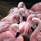chilean flamingos by albertoBO5