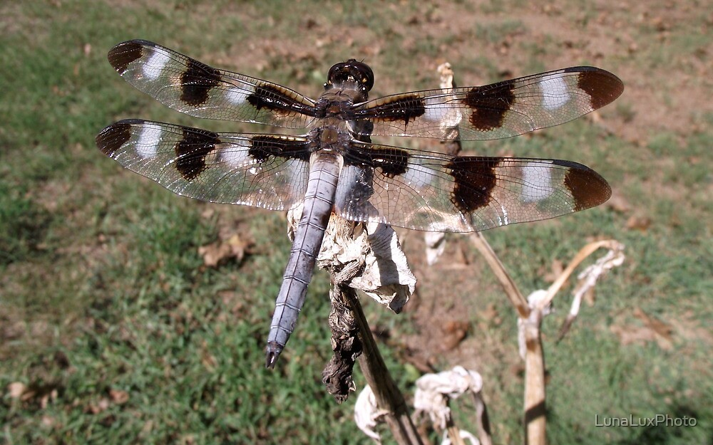 Dragonfly by LunaLuxPhoto