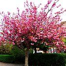Sakura - Cherry Blossom by DCLehnsherr