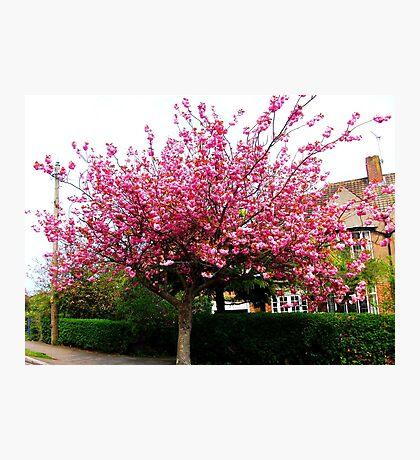 Sakura - Cherry Blossom Photographic Print