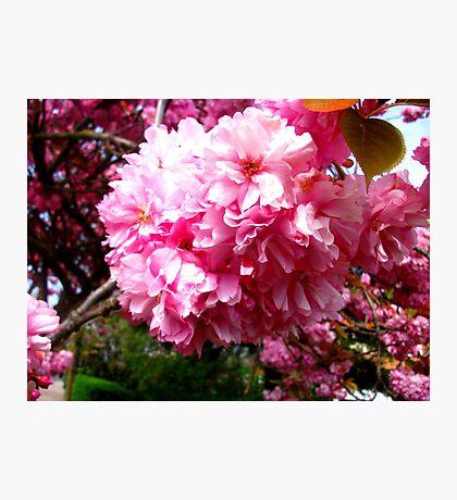 Sakura - Close Up 2 Photographic Print