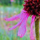 Chromatic Coneflower by aprilann