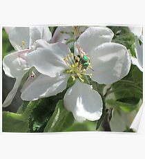 Green Bee on Blossom Poster