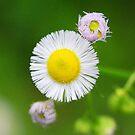 Wild flower detail with rain drop on bloom  by Jason Franklin