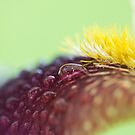 Rainy flower petal detail iris macro  by Jason Franklin