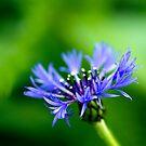 Cornflower Blue by Rebecca Cozart