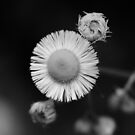 wild flower detail with rain drop on bloom B&W  by Jason Franklin