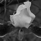 black and white flower along fence line  by Jason Franklin