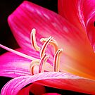 Pink Lily by Eve Parry