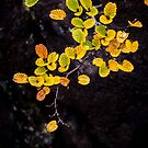 Fagus at Mt Field, Tasmania by Jim Lovell