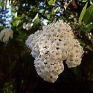 Unknown White Bush by Sensei1953