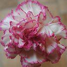 Dainty Pink Trim by Sandra Fortier