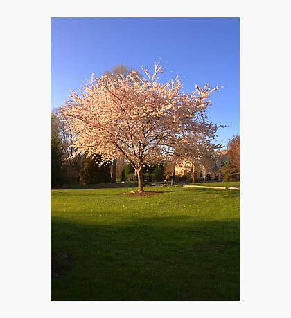 Cherry Trees in the Spring Photographic Print