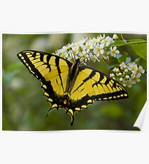 Eastern Tiger Swallowtail - Papilio glaucus Poster