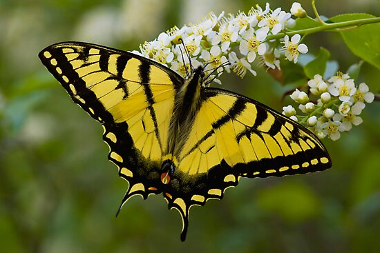 Eastern Tiger Swallowtail - Papilio glaucus by Megan Noble