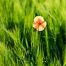 Poppy 2012 4 by Falko Follert