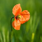 Poppy 2012 5 by Falko Follert