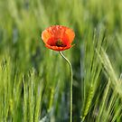 Poppy 2012 18 by Falko Follert